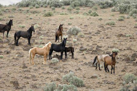 sagebrush: Wild horses on a hillside