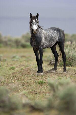 sagebrush: Single grey wild horse standing