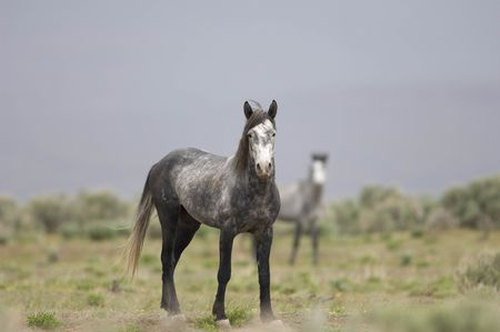 sagebrush: Two widl horses out on the praire