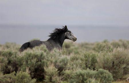 sagebrush: Wild horse running away