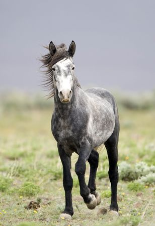 rebellion: Single grey wild horse standing