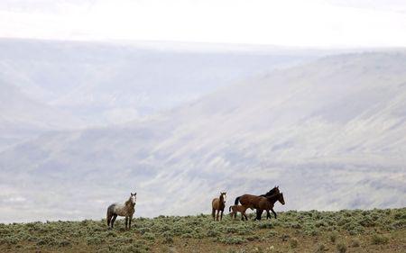 sagebrush: Wild horses on a ridge line Stock Photo