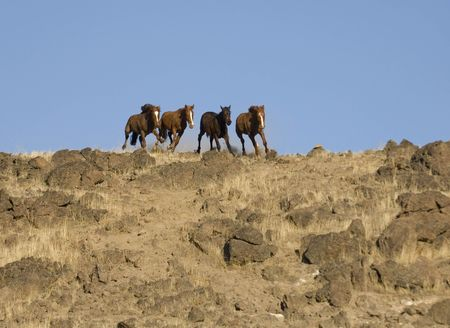 sagebrush: Wild horses about to come over a ridge