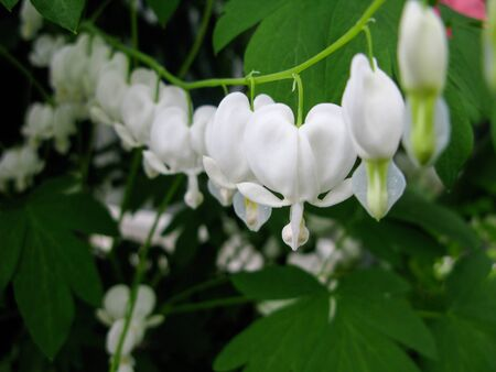 Shallow DOF image of white bleeding heart flowers (Lamprocapnos spectabilis)