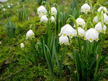 White crocus blossoms hang down after a spring rain in Husum Germany