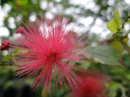 pink powder: Macro photo of the pink powder puff flower Calliandra haematocephala in the Griffith Park Conservatory  Greenhouse Stock Photo