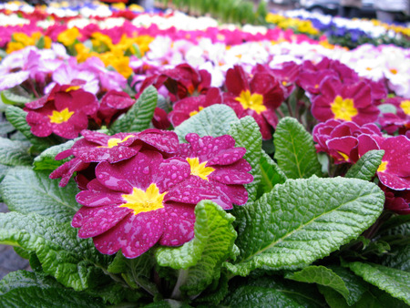 Primroses Primula vulgaris covered with rain drops are for sale with many colors seen in the distance Stok Fotoğraf