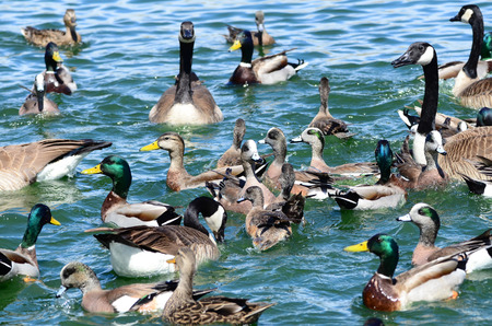 'southwest usa': Southwest USA Beautiful Ducks and Geese New Mexico birds wild ducks, goose and geese waterfowl in the blue green water at the local ponds and lakes Stock Photo