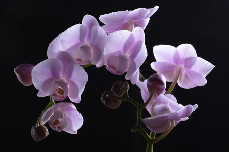 thorn tip: Beautiful Lavender Orchids  Orchidaceae are a diverse and widespread family of flowering plants, with blooms that are often colorful fragrant.