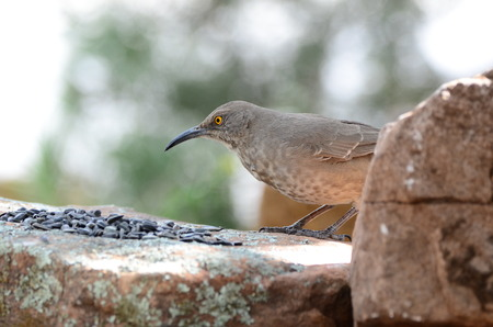 Southwest USA Beautiful Curve-billed Thrasher Bright yellow orange eyes, Faint spots on chest and belly, Long, thin, slightly down-curved bill. Dull grayish brown all over. Large, long-tailed songbird is a medium-sized mimid that is a member of the genus  写真素材
