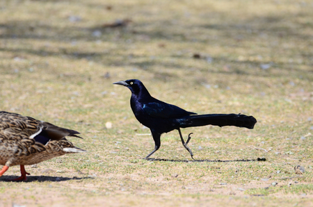 Southwest USA Beautiful Great-tailed Grackle Male black with yellow eyes, black bills and legs. Females are dark brown above, paler below, with a buff-colored throat and stripe above the eye.