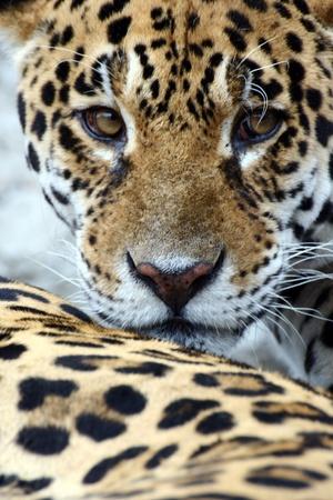 a look of a jaguar