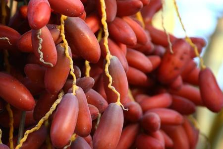 ripe dates