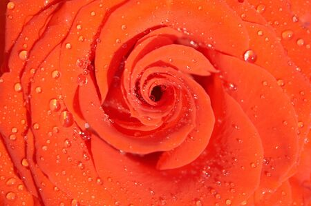 Carmadine rose photo