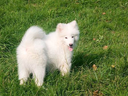Young puppy of Samoed