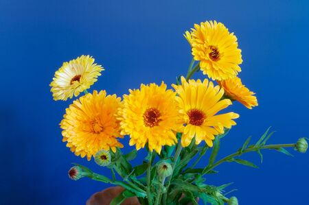 Bouquet of calendula on blue Stock Photo
