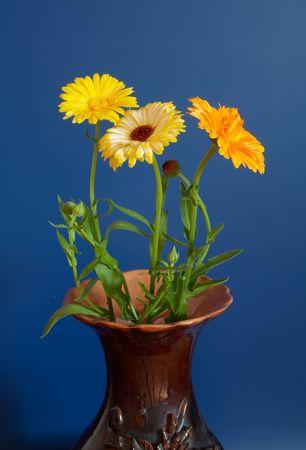 pedicel: Bouquet of calendula on blue Stock Photo