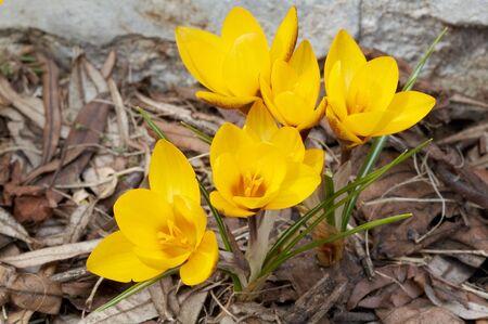 Gele bloem van krokus Stockfoto