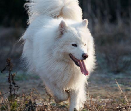 Running samoed hond