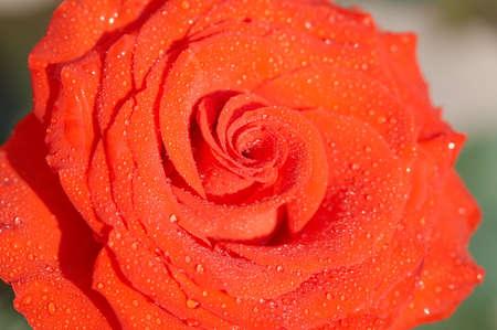 incarnadine: Carmadine rose