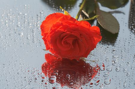 Carmadine rose