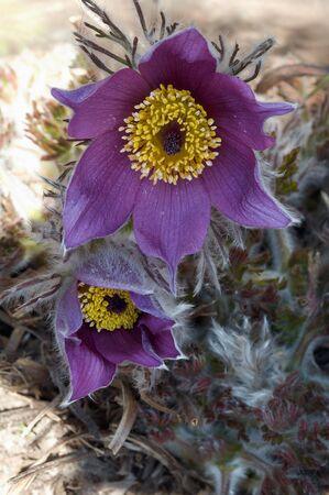 Violet Pulsatilla