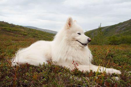 Samoed in the Khibiny Mountains, Kola Peninsula, Russia