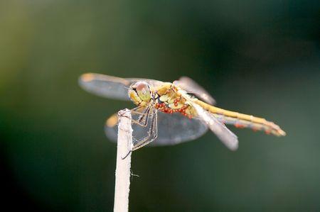 Dragonfly on blade on dark background