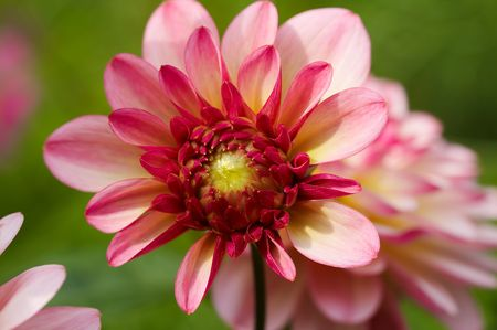 Rosy-yellow dahlia on green Stock Photo