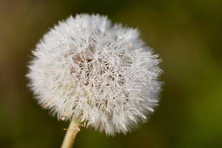 Dandelion with drop of dew