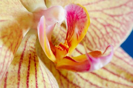 Mooie orchidee Phalaenopsis Baldan's Kaleidoscoop op blauw Stockfoto