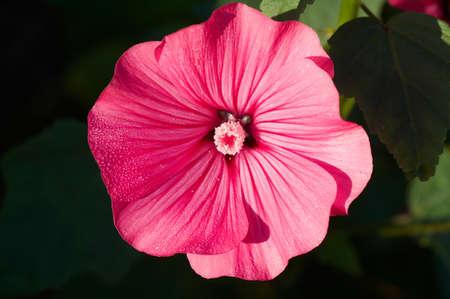 Flower of red Lavatera ( Malvaceae )