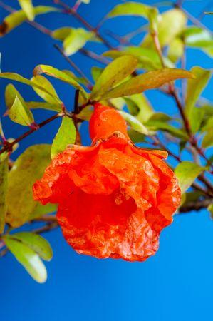Fruit of pomegranate on blue