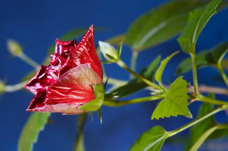 Bud of red hibiskus on blue photo