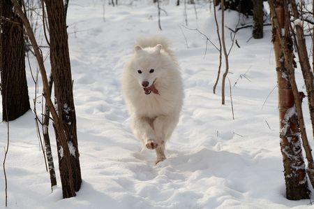 Samoed de hond in de winter het bos