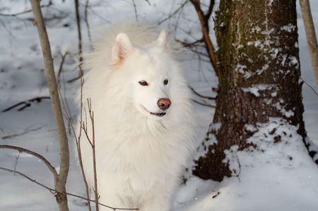 Samoeds dog in winter forest