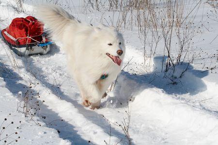 Samoed de hond in de winter het bos vervoer pulk Stockfoto