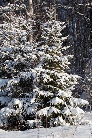 Fir under snow in winter forest
