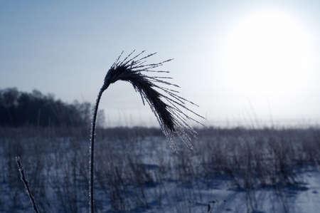 Ear in hoarfrost at field
