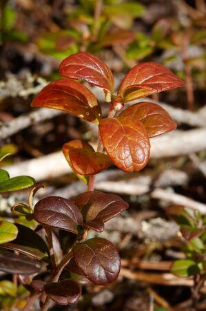 Little brunc van rode bosbessen Stockfoto