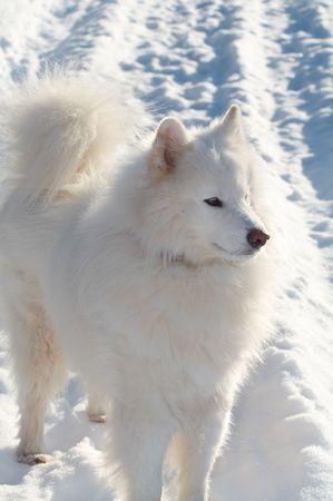 Samoeds dog in winter forest