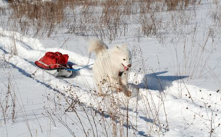 dog sled: Samoeds dog in winter forest transport pulk