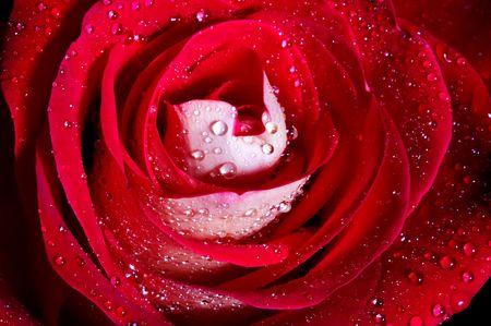 Red rose close up on black
