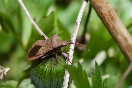pentatomidae: Hemipterans -  stinkbugs (Pentatomidae) close-up