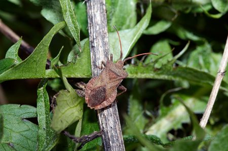 Hemipterans - luizen (Pentatomidae) Close-up Stockfoto
