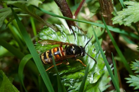 Wasp on green leafs (Dolichovespula silvestris)