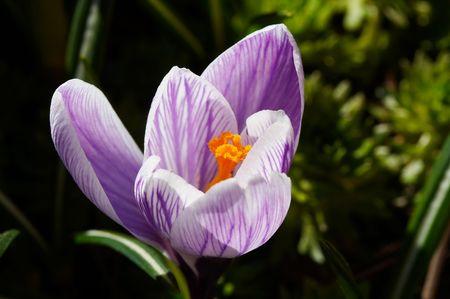 White-violet crocus close up
