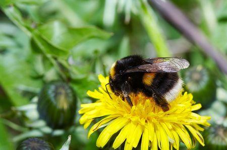 Bumblebee on yellow dandelion close-up