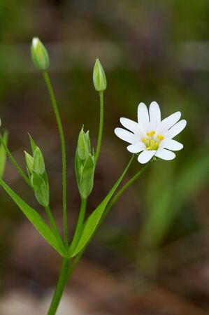 Stellaria holostea in spring forest Stock Photo