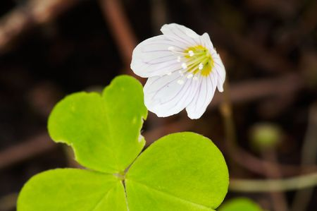 Oxalis acetosella in spring forest